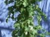 Kale 1 (Medium)