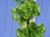 Lettuce 2 (Medium)