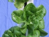 Lettuce close up (Medium)
