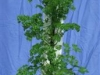 Parsley 2 (Medium)