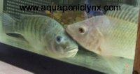 Boy and Girl Tilapia Together