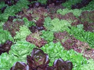 Premium Lettuce Mix