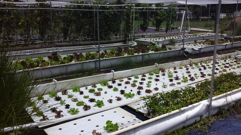 Lettuce Rafts
