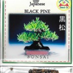 Japanese Bonsai Black Pine