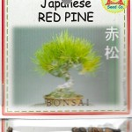 Japanese Bonsai Red Pine