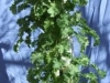 Kale (Medium)