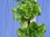 Lettuce 1 (Medium)