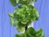 Lettuce 3 (Medium)