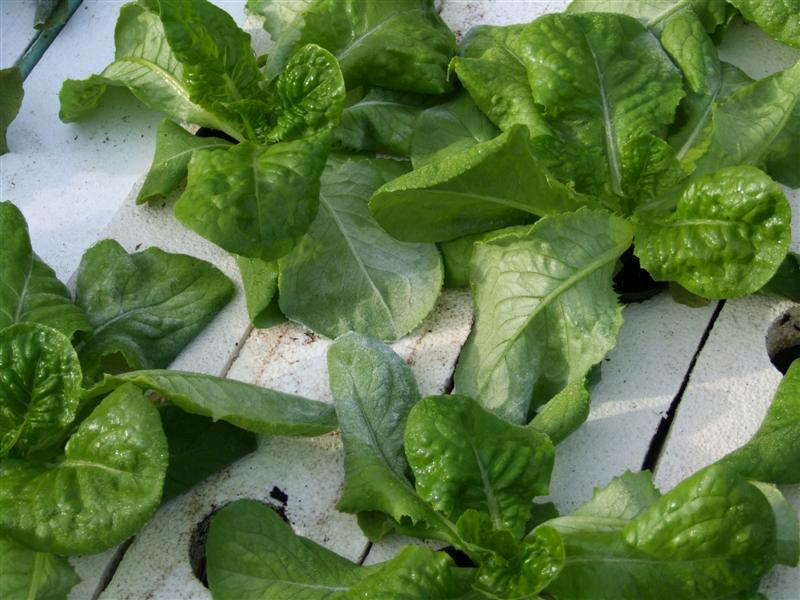frost-on-lettuce