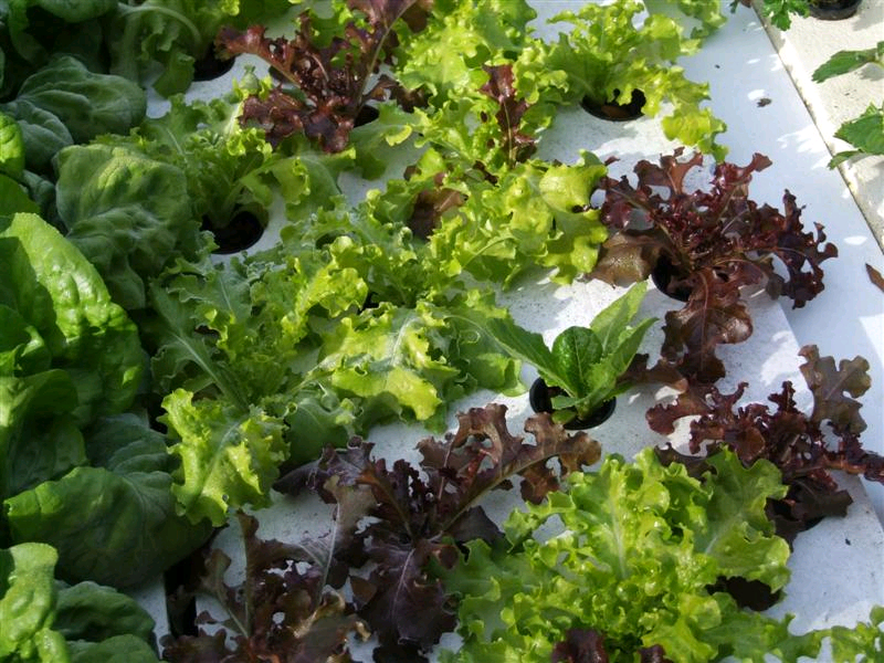 frost-on-lettuce-mix