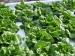 frost-on-butter-lettuce