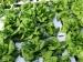frost-on-lettuce-2
