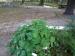 pond-plant-nasturium-good