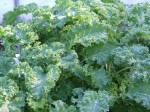 Crinkly Kale