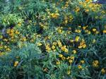 Flowering French Tarragon