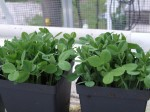 Green Pea Shoots