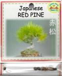 Japanese Bonsai Red Pine